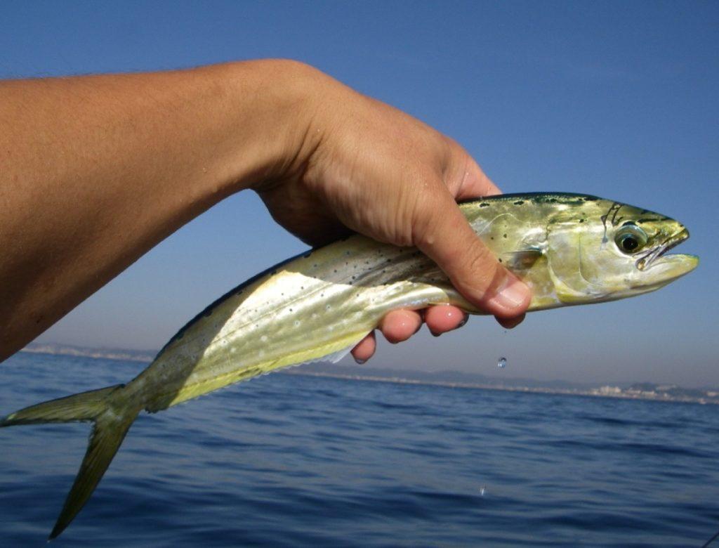 葉山ボート釣り シイラ