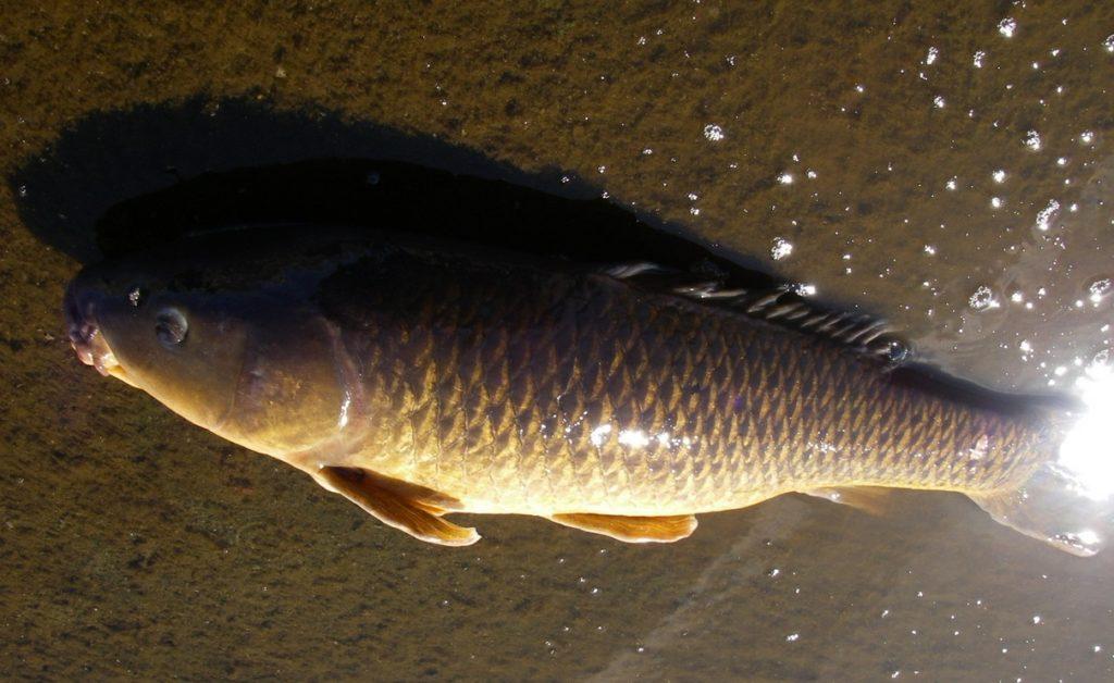 多摩川 鯉釣り