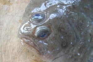 ガンゾウビラメ Cinnamon Flounder