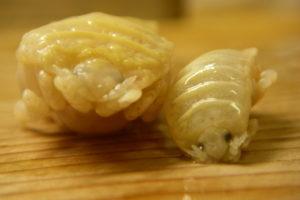 魚 寄生虫   タイノエ