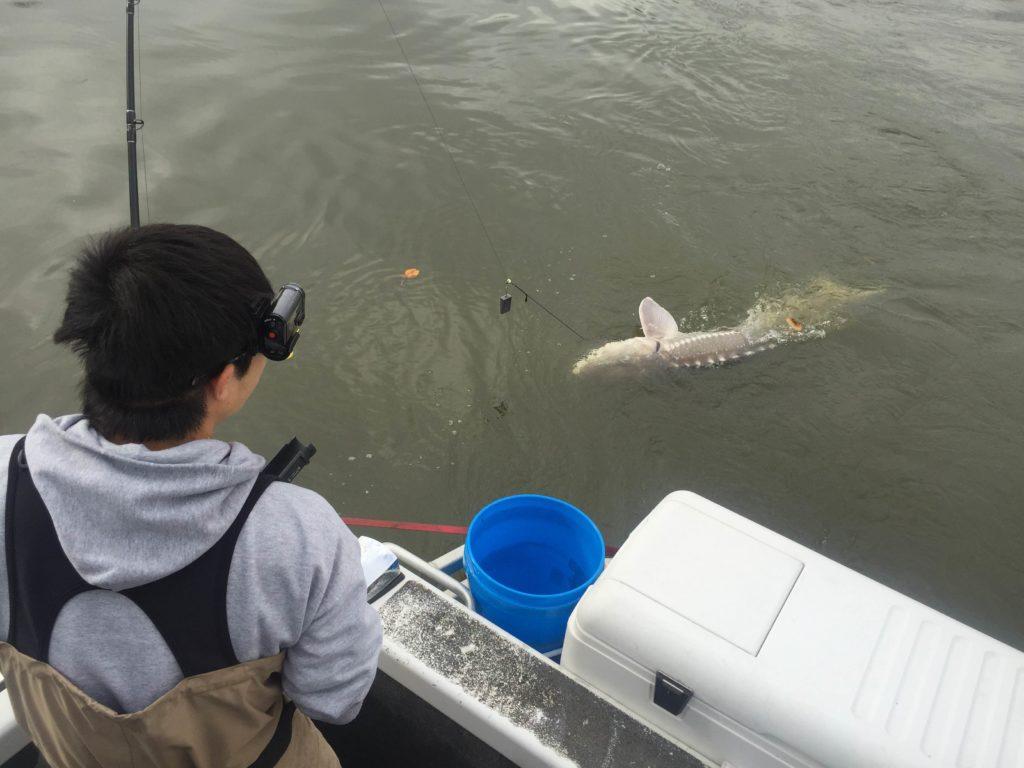 チョウザメ  巨大魚